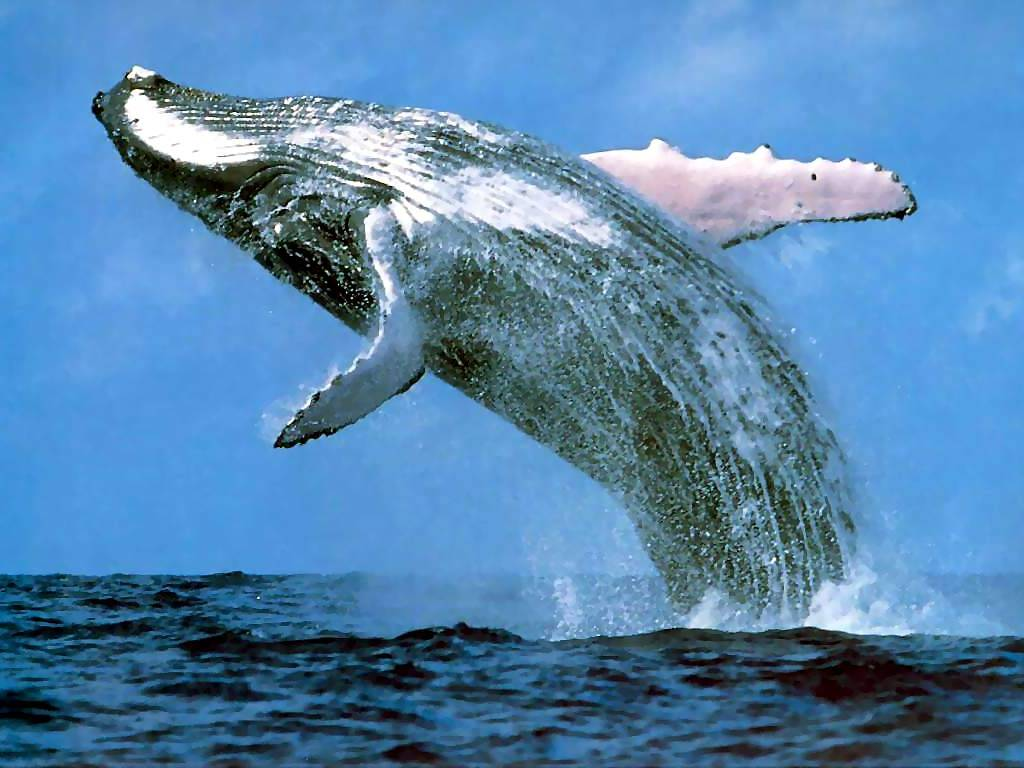 humpback whale jumps
