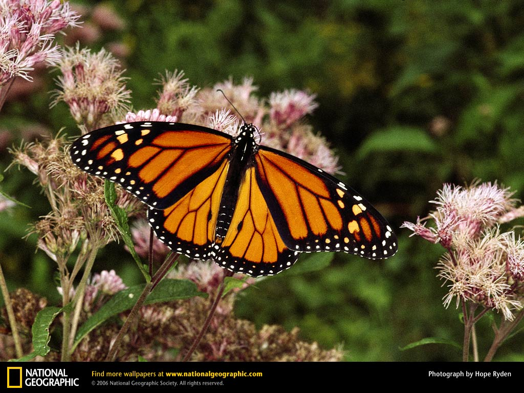 Monarch Butterfly Wallpapers, Butterfly Wallpapers HQ, Heliconius Butterfly Wallpapers, Beautiful Heliconius Butterfly Pictures, New Butterfly Wallpapers, Butterfly Wallpapers