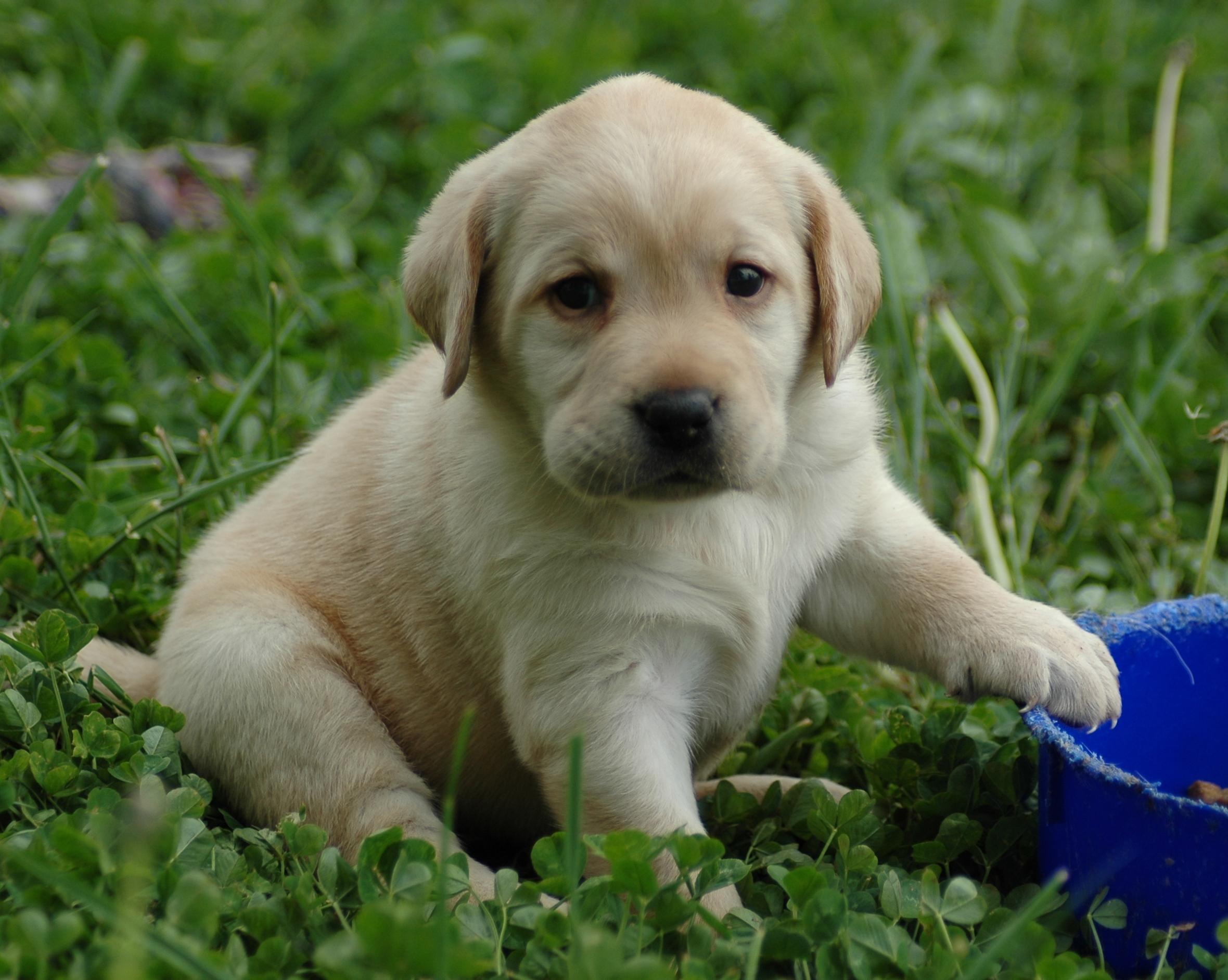 http://fascinatingly.com/wp-content/gallery/animals---dogs/puppy-lab-HD-wallpaper.jpg