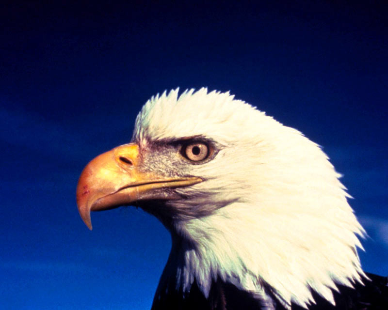 eagle wallpaper. illusions amp; HD wallpaper