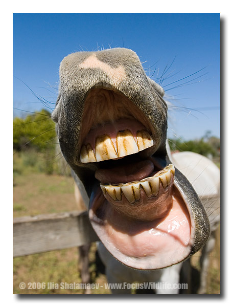 horse laughing shows yucky horse teeth