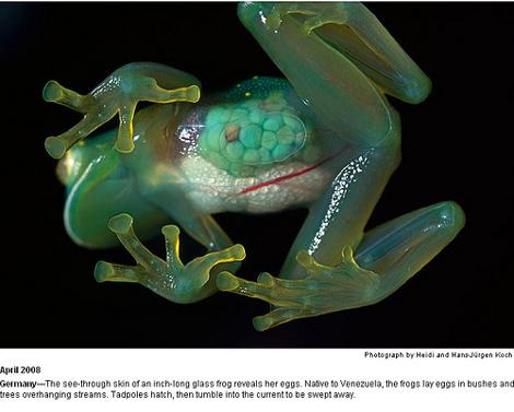 transparent-frog
