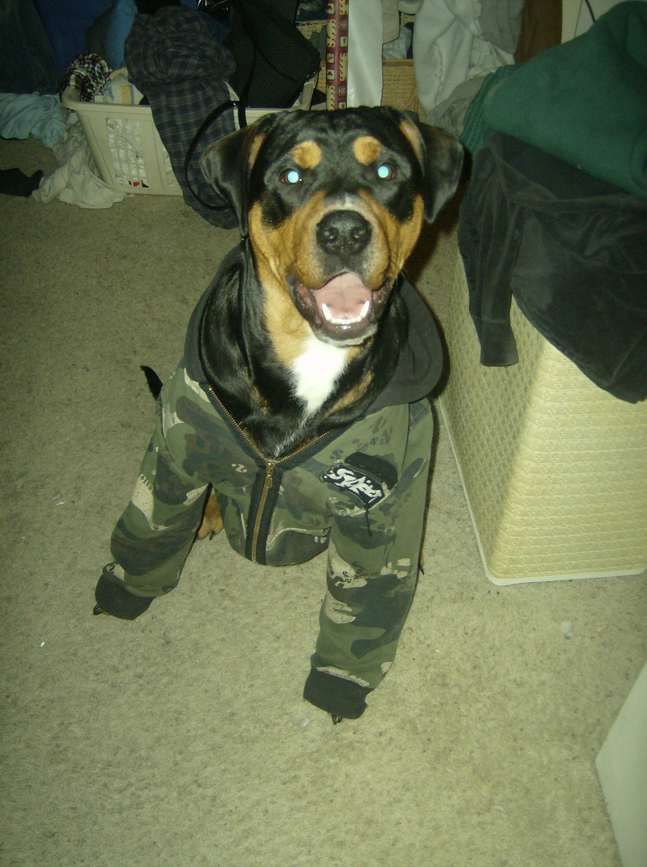 Rottweiler puppy dressed in a shirt